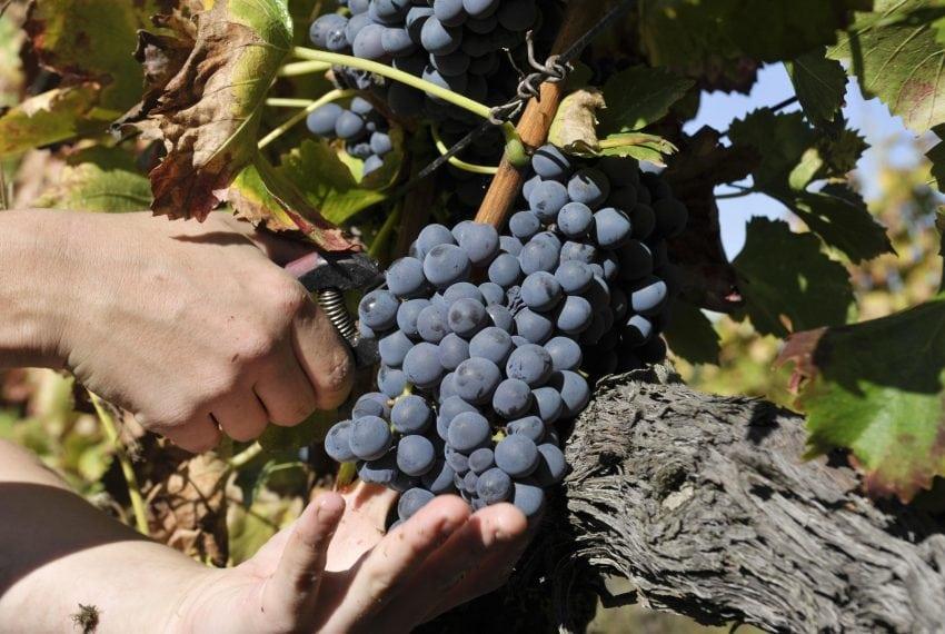 LV - Landscape - Vineyard close up 5