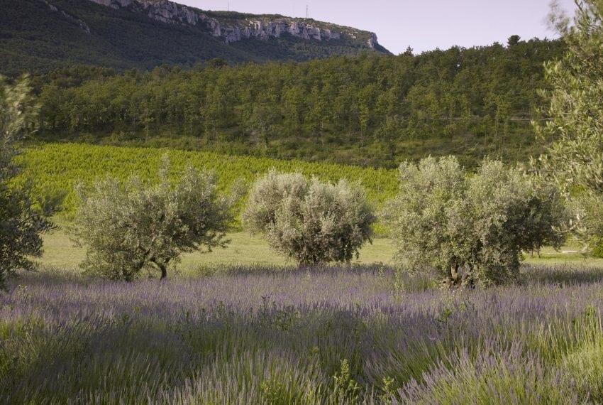 LV - vines olvies and lavender